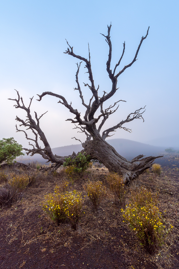 Photograph of a downed tree near the top of Mauna Kea on the Big Island of Hawaii.