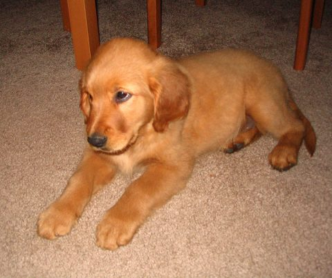 Hunter the Golden Retriever as a puppy
