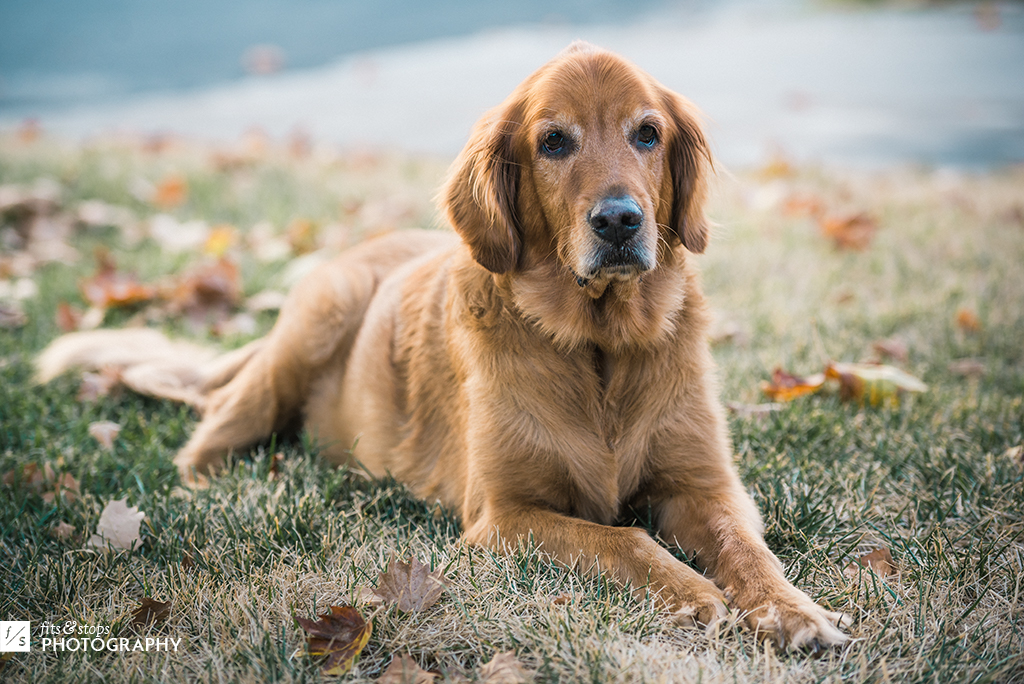 Photography of a faithful old dog resting on a lawn