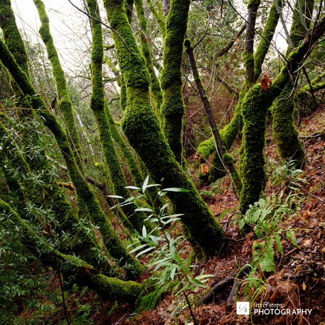 Moss covered trees growing near Lake Clementine in Northern California.